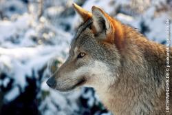 Der Wolf – Norwegens scheuer Jäger